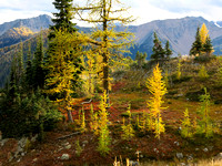 Golden larch trees on Harts Pass Road